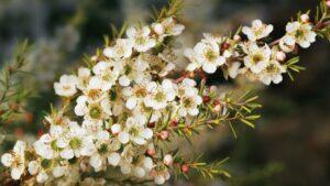 Tea tree arbre a the